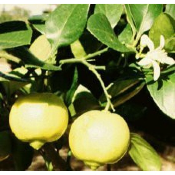 Organický éterický olej - Bergamot 10ml - NHR