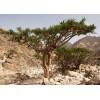 Vykurovadlo - Kadidlo (Olibanum) Eritrea 30ml