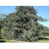 Organický éterický olej - Cédrové drevo 10ml - NHR
