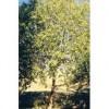 Organický éterický olej - Santalové drevo 5ml - NHR