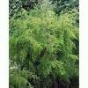 Organický éterický olej - Čajovník (Tea Tree) 10ml - NHR
